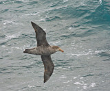 Northern Giant Petrel, adult