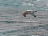 Wandering Albatross, probably adult female