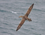 Northern Giant Petrel, probably adult