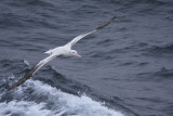 Wandering Albatross, probably older adult male, breeding