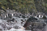 Gentoo and King Penguin colonies