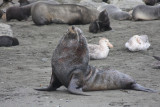 Bull Fur Seal