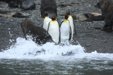 King Penguins ignoring the commotion