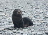 Young Fur Seal pup