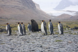 King Penguins on the march
