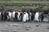 Non-breeding King Penguins