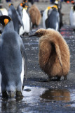 An ungainly King Penguin chick...