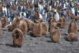 King Penguin chick creche