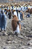 Fledging chick King Penguin, about 50 weeks
