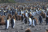 Thousands of breeding adults and chicks