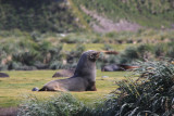 Juvenile male Fur Seal
