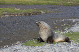 Adult bull Fur Seal