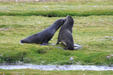 Two juvenile Fur Seals, mock fighting