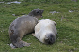 Moulting Elephant Seals