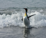 King Penguin emerging from the surf