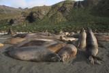 Elephant Seals, male juveniles