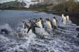 Group of king Penguins off fishing
