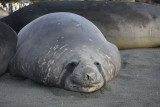 Elephant Seal, female