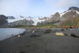 Placid Elephant Seals, Gold Harbour beach