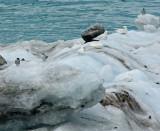 Arctic Terns and Snow Petrels