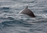 Humback Whale, diving