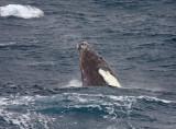 Humback Whale, breaching