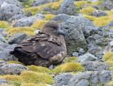 Subantarctic Skua (Catharacta antarctica Ionnbergi)