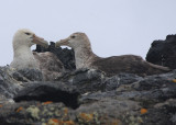 Southern Giant Petrels