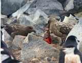 Subantarctic Skuas tear apart a Chinstrap chick