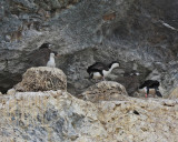 Antarctic Shags' nesting colony