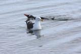 Kelp Gull and swimming Gentoo