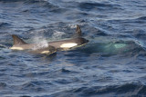 Killer Whale (or Orca), female and juveniles