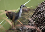 White-breasted Waterhen, juvenile