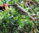 Asian Tree Sparrow