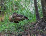 Little Whistling Duck