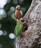 Red-breasted Parakeet, Males