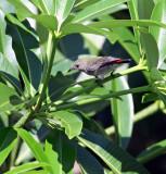 Scarlet-backed Flowerpecker, female