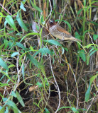 Scaly-breasted Munia by nest