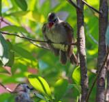 Yellow-vented Bulbul, Juvenile