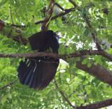 Asian Koel