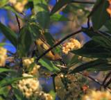Olive-backed Sunbird, female