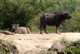 Water buffalo by the Mekong