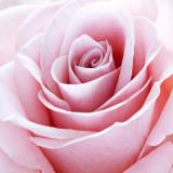 _MG_9005 rose.jpg
