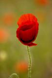 _MG_0207 poppies.jpg