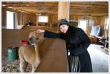 Alpaca farm in Maine