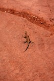Northern Plateau Lizard, Canyonlands National Park, Moab, UT