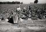 Harvesting Tobacco, Leamington, Ontario