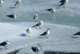 Gulls On Ice, Niagara Falls, Ontario
