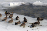 Mallard Ducks On Ice, Niagara Falls, Ontario