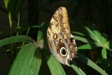 Owl Butterfly, Butterfly Conservatory, Niagara Falls, Canada